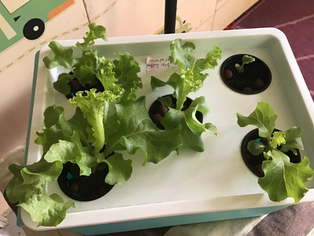 lettuce plan after 3 days exposure to grow light