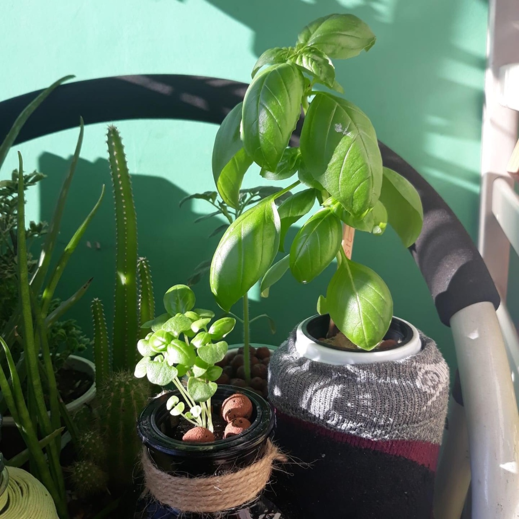 basil plants growing just beside our condo unit window