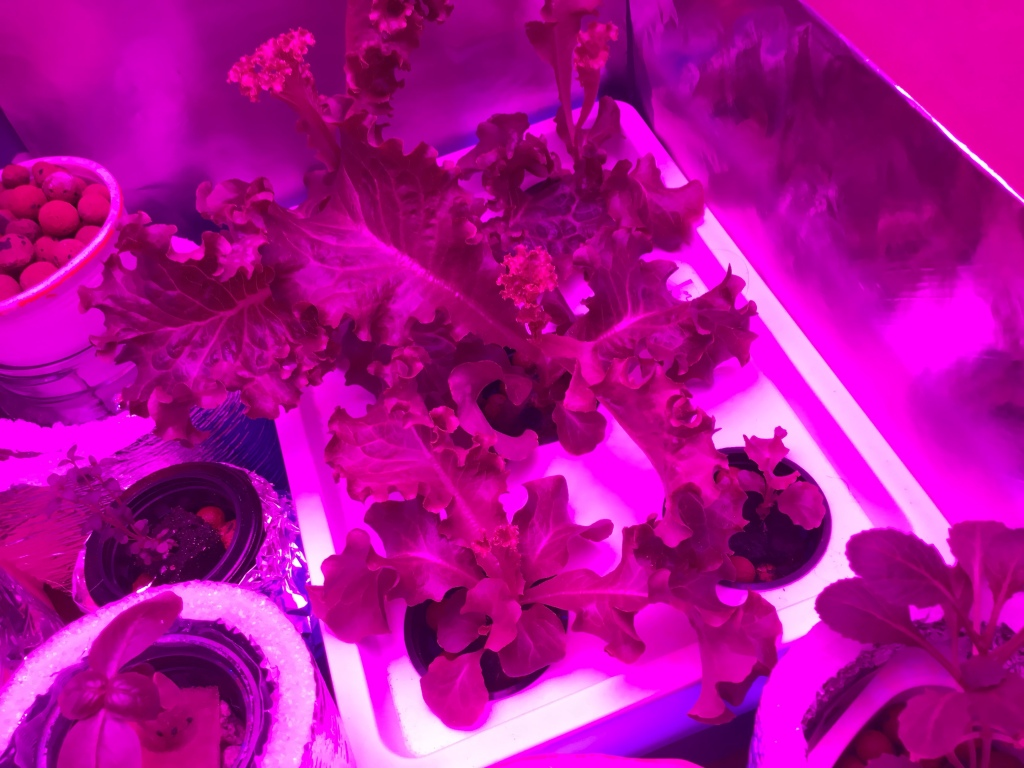 plants in Kratky hydroponics under grow light
