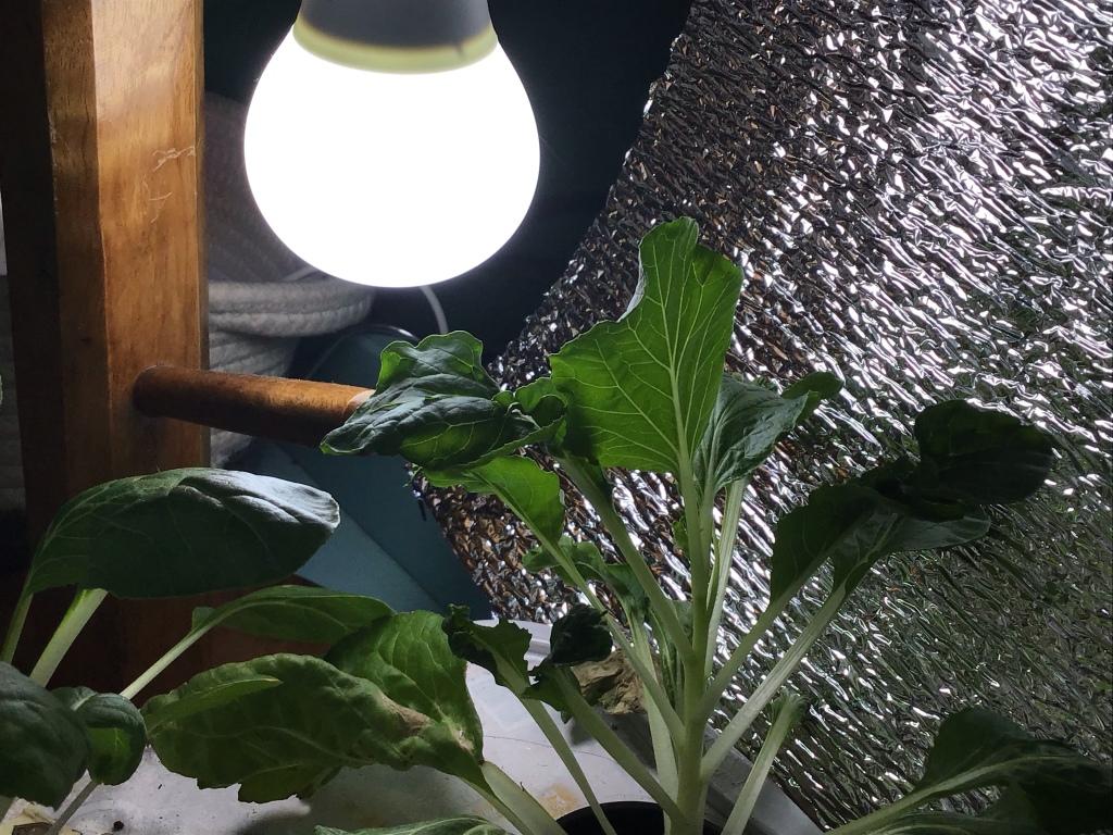 LED bulb as a cheap alternative grow light for plants