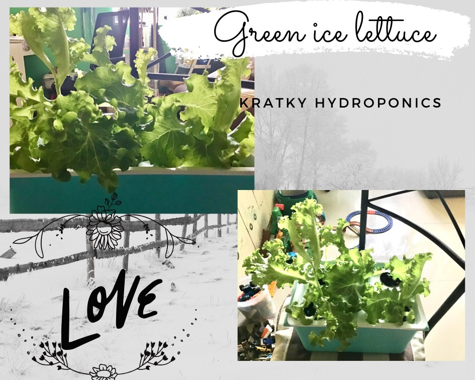 hydroponically grown lettuce plants after being exposed to grow light are ready for harvest