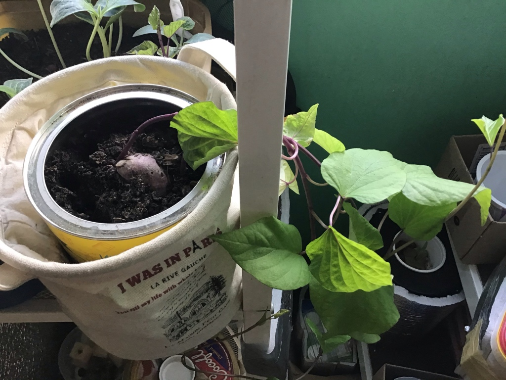 sweet potato vine in potted soil gardening